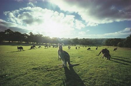 kangaroos_450x295